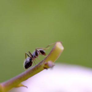 fliegengitter-ameise